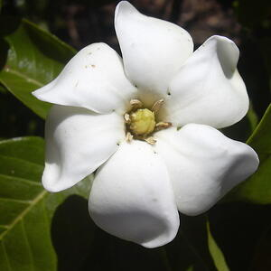 The 5 most fragrant flowers for your kauai commercial property gardenia is one of the best smelling flowers mightylinksfo