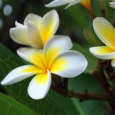 Frangipani_flowers.jpg