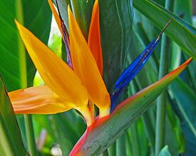 Birds of Paradise by a swimming pool in Hawaii