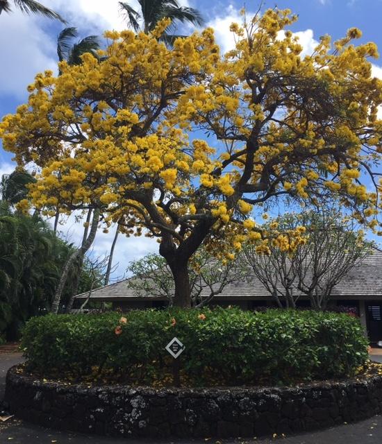 Mature tree at Kiahuna Plantation