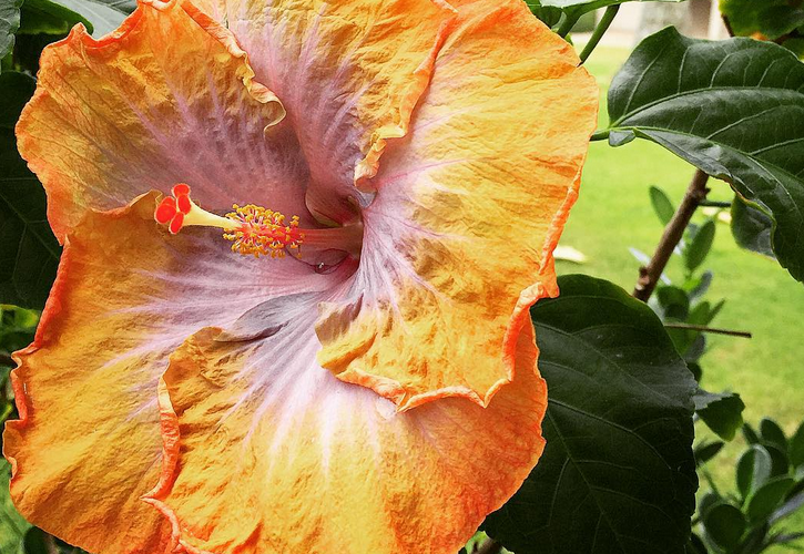 Fragrant hibiscus is great for creating a living fence on Kauai