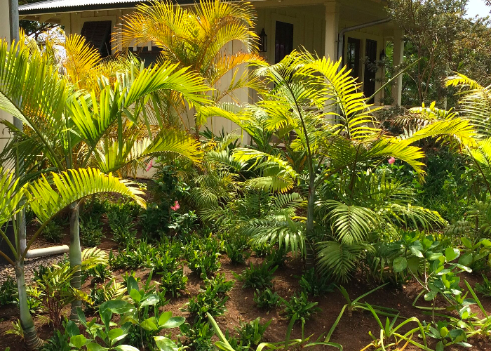 areca palm trees are great for creating a living privacy fence on Kauai