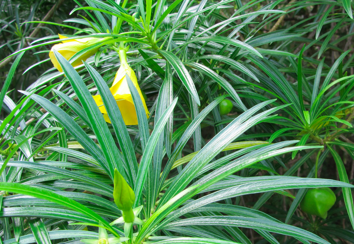 Thevetia peruviana is great for creating a living privacy fence on Kauai