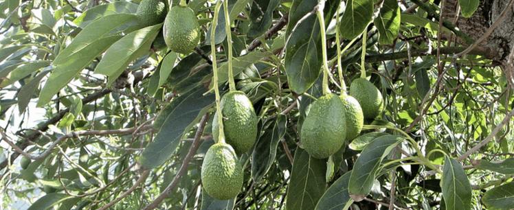 an avocado tree is one of the best fruit trees on Kauai