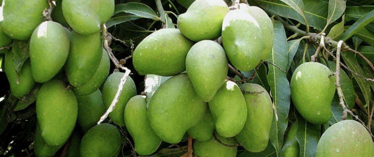 a mango tree is one of the best fruit trees on Kauai