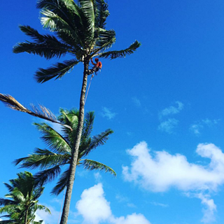 Many landscape contractors on Kauai will only prune trees/shrubs up to 15 feet tall with a 3-inch caliper.