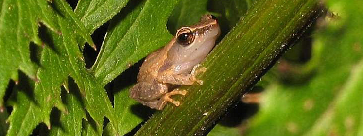 "There are no known natural predators to naturally ""manage"" coqui frogs."