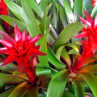 bromeliads are colorful, shade-loving plants that make a bold impact on Kauai landscapes