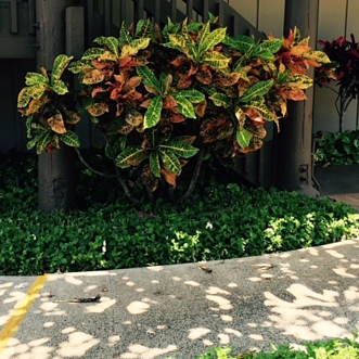 crotons are colorful, shade-loving plants that make a bold impact on Kauai landscapes