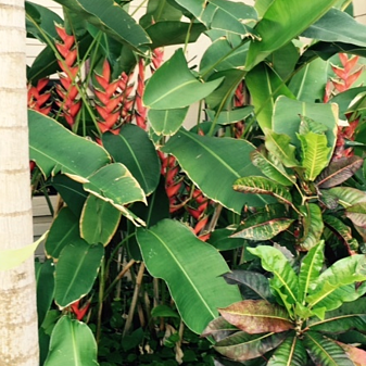 heliconia are colorful, shade-loving plants that make a bold impact on Kauai landscapes